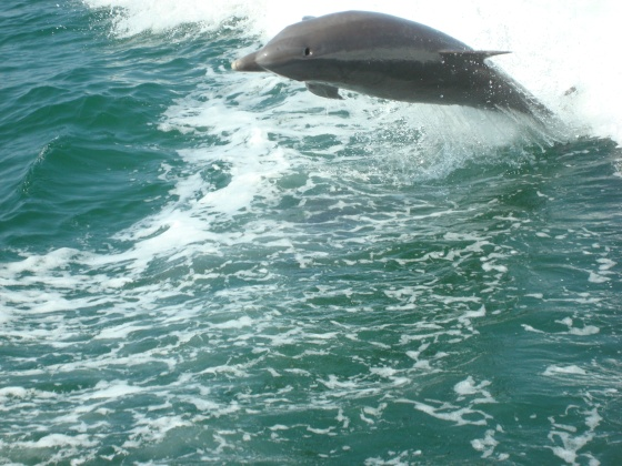 Dolphin Riding the Waves